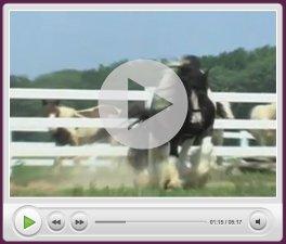 gypsy horse videos horse videos 264x225