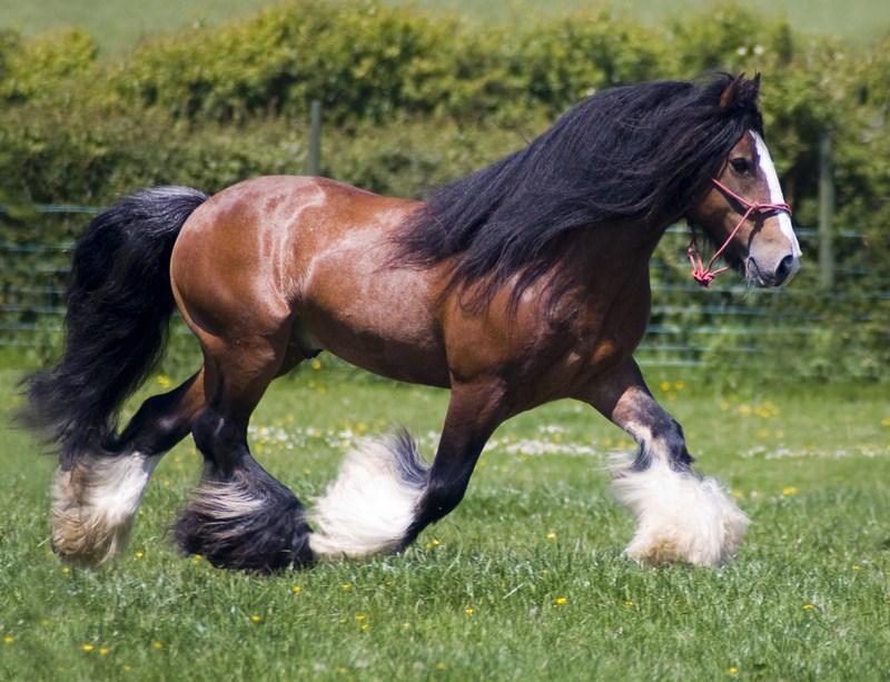 Lex Lin Gypsy Ranch | Gypsy Vanner Horses