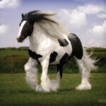 130Geronimo - Gypsy Vanner Stallion