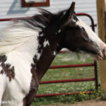Patches: Gypsy Vanner Filly - 4-26-2010