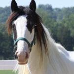 Ruby - Gypsy Horse - Photo taken May 2010