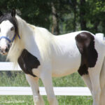 Snow Drift - Gypsy Filly - May 2010